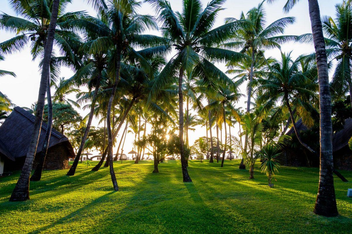 zdjęcie palmy Mauritius